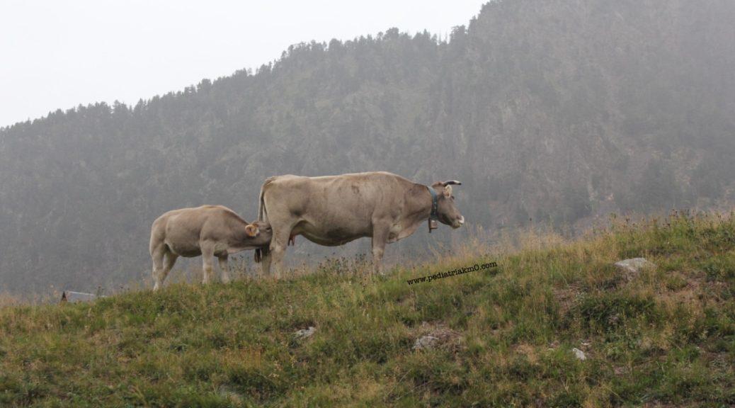 Llet de vaca infancia
